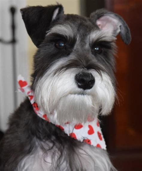 different haircuts for a miniature schnauzer schnauzer without haircut haircuts models ideas