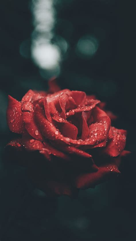 romantic roses iphone  wallpapers preppy wallpapers