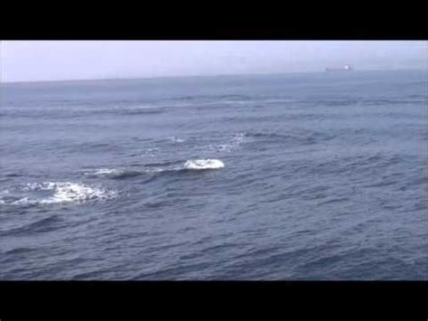 hippo chasing fishing boat humpbacks chase killer whales right under our boat 8 2