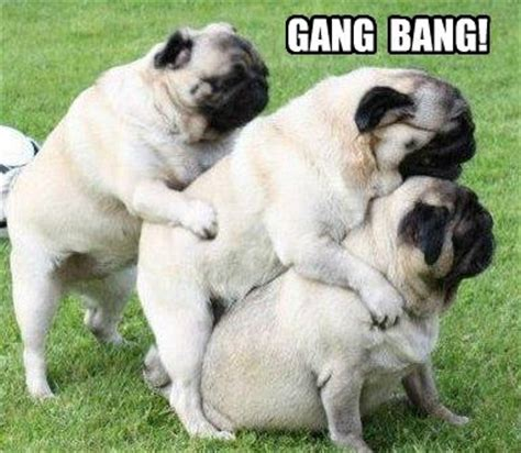 pugs with captions pugs pug and memes on