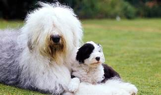 sheepdog dogs and puppies breeds journal