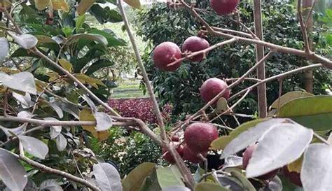 Harga Bibit Kelengkeng Ruby harga bibit kelengkeng merah di ambon www stewartflowers net