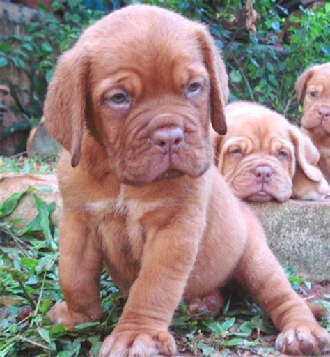 mastiff puppies for sale in michigan mastiff dogue de bordeaux mastiff for sale in india breeds picture