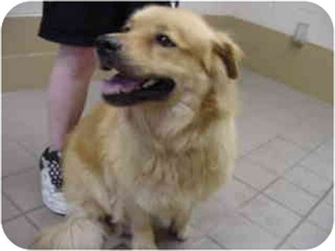akita golden retriever emmy adopted 10 1269 marshalltown ia golden retriever akita mix
