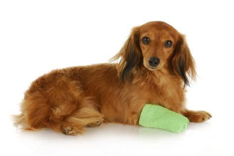 paw bandage how to deal with paw scrapes healthy paws