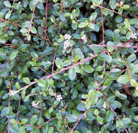 catalogo piante arbusti  siepi cespugli vivai