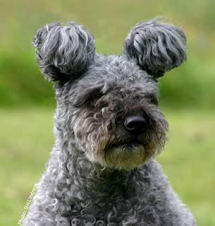 pumi puppies for sale photos 1000 ideas about pumi on dogs breeds breeds and