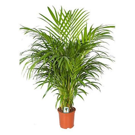 areca palm send areca palm indoor plant flower gifts to dubai with