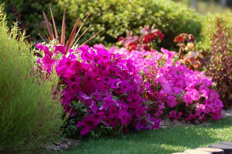 fiori surfinia surfinia piante annuali