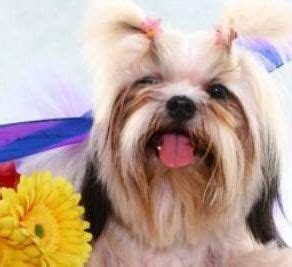 how to shih tzu not to bark how how to your shih tzu to minimize barking doggie diy shih