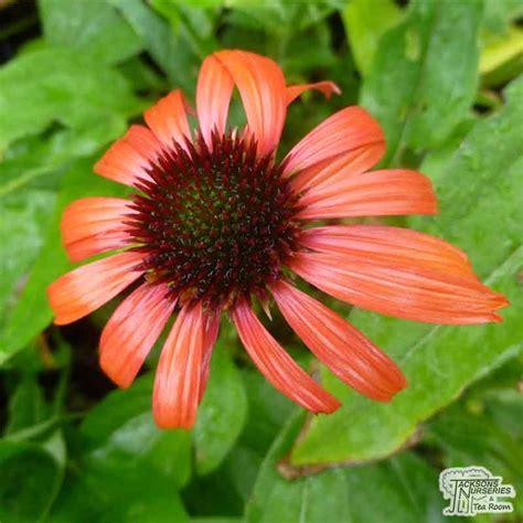 buy echinacea purpurea skipper orange coneflower   uk