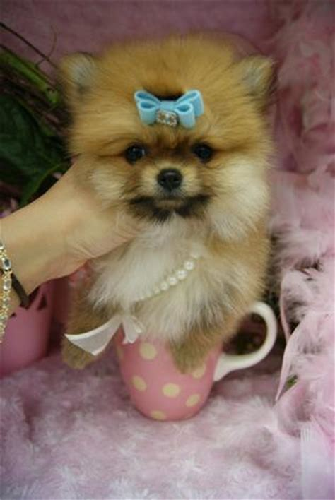 how to take care of a teacup pomeranian teacup puppies for sale teacup puppies miami teacup puppies for sale florida