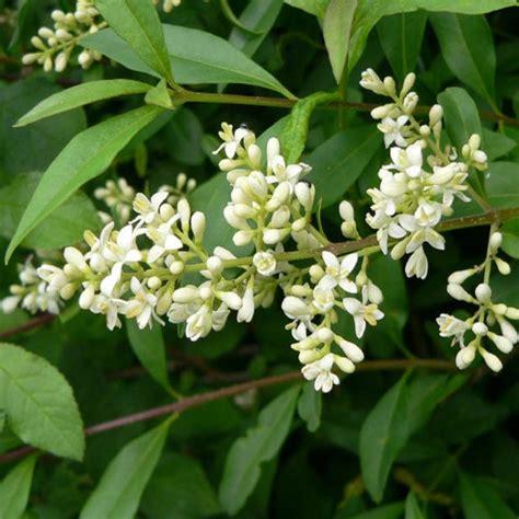 Bush Topiary - buy ligustrum vulgare common privet bare root plants available for sale online