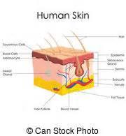 human skin stock photo 169 chaoss 1695911 dermatology clip and stock illustrations 1 570 dermatology eps illustrations and vector