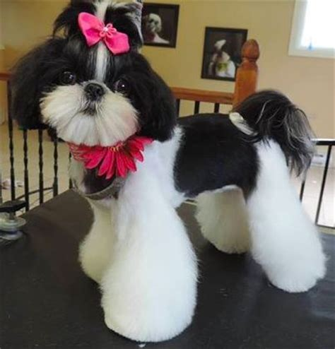 shih tzu hair styles for females 4230 best images about shih tzu on