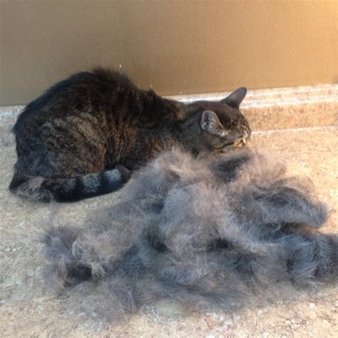 cat hair shedding hair cats cat grooming solutions