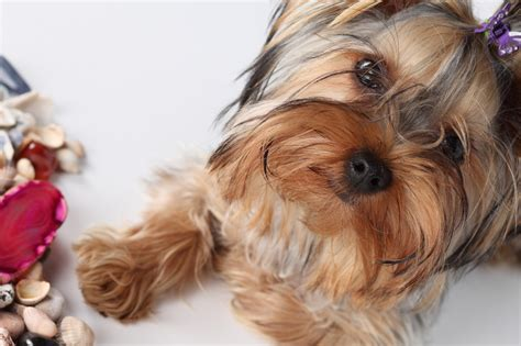 how much do yorkies weigh how much should weigh terrier 6 months tips for your