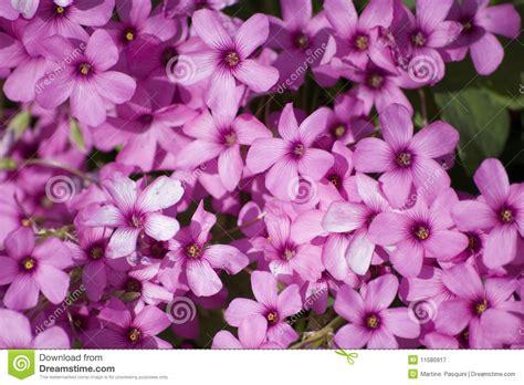fiore trifoglio fiore trifoglio immagine stock immagine di trifoglio