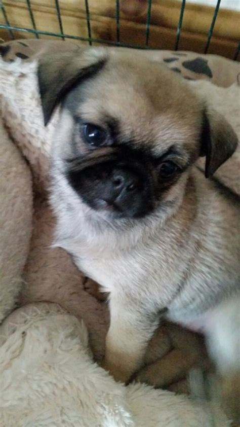 pug x pekingese puppies pekeachug pekingese x chug pug x chihuahua jarrow tyne and wear pets4homes