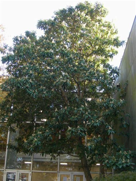loquat home garden information center