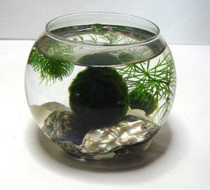 marimo moss ball care guide everything you need to know