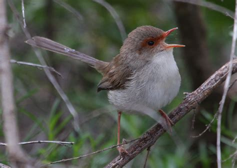 australian backyard birds female song birds do sing and charles darwin got it wrong