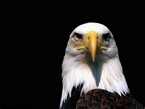 eagle face picture animals library