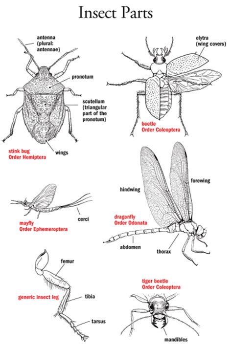 Parts Of An L insect parts identification illustration