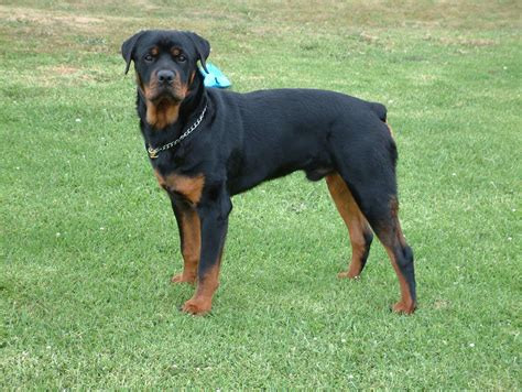 picture of rottweiler rottweiler breed 187 information pictures more