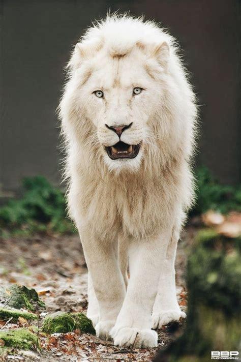 white lion  bert broers rare albino animals