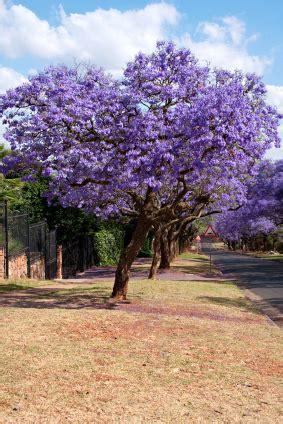 Japanese Flowering Shrubs - buy jacaranda tree for sale in miami florida ft lauderdale