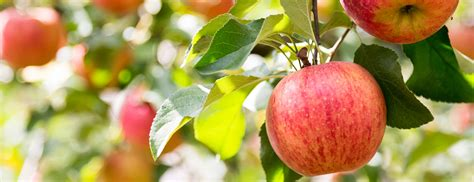 apple japan apples aomori is japan cool travel and culture guide