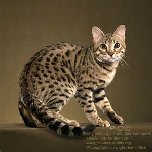 animal facts bengal cats