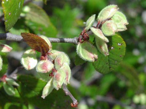 elm tree fruit ulmus crassifolia