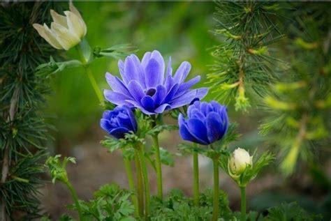gambar bunga  tanamah hias terindah  dunia gambar