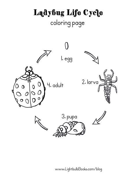 ladybug life cycle coloring page free coloring pages of life cycle of a rabbit