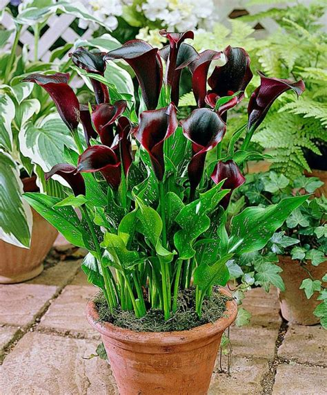 calla lilly pots i love calla lillies but they are so 168 best calla lily images on pinterest calla lilies