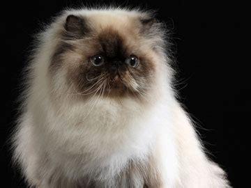 foto dei gatti persiani redirecting to post 444766 razze di gatti la fotogallery