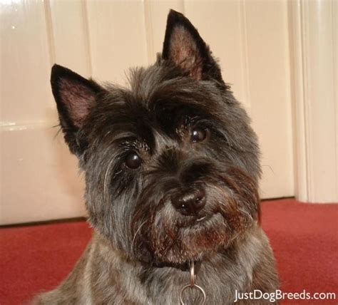 brindle cairn haircut de 3167 b 228 sta puppy love bilderna p 229 pinterest westies