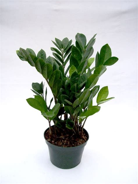 zamioculcas zamiifolia plant leaf related keywords zamioculcas zamiifolia plant leaf long tail