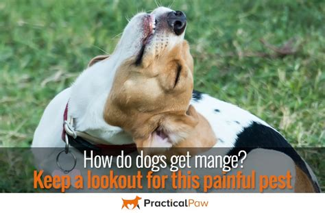 how do dogs get mange practical paw the toolkit