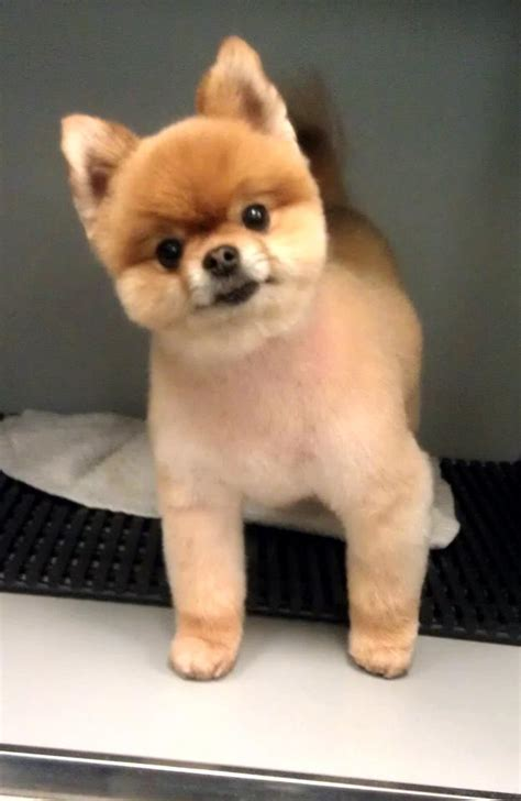 how to do a teddy bear trim on a yorkshire terrier pomeranian teddy bear cut