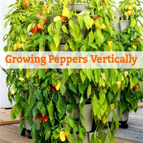 all about growing peppers vertically greenstalk vertical