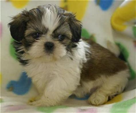 shih tzu puppies for sale in colorado document moved