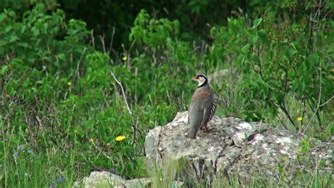 endangered bird species rock partridge alectoris graeca