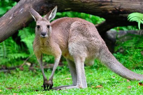 saves from kangaroo guardian kangaroo saves lost boy in australian bush kangaroo saves australian