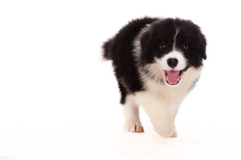 puppy bowl mvp vote puppy bowl mvp doggies