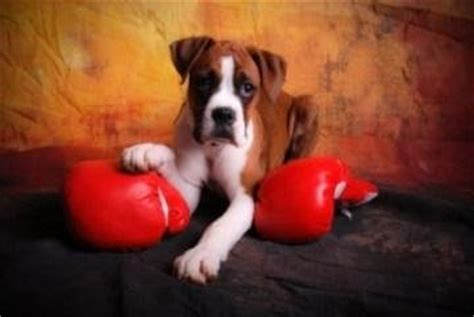 how much to feed a boxer puppy boxer information center proper feeding food issues