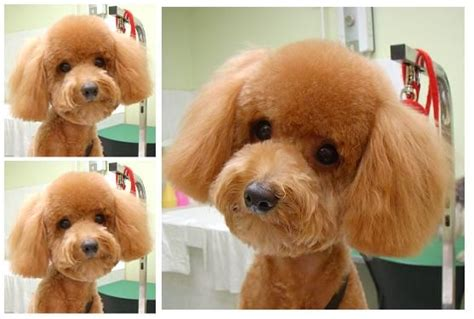 toy poodle teddy bear cut omg sooo cute toys poodle