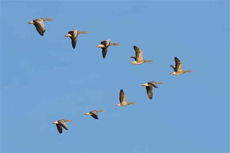 migrating birds travel faster in spring